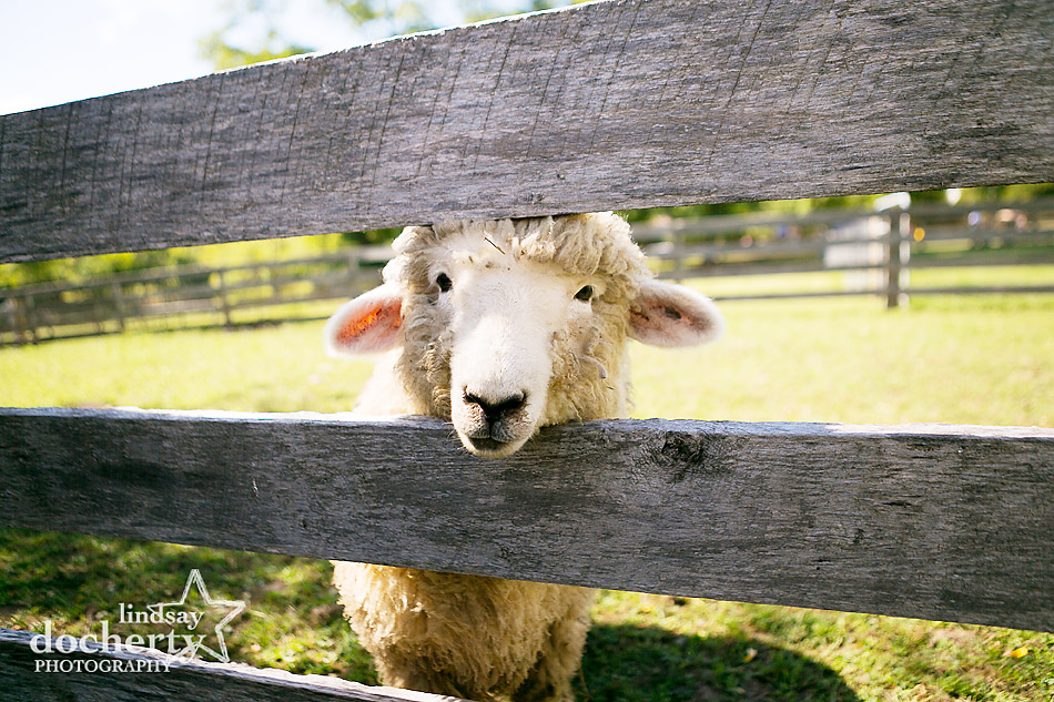 sheep-at-farm-wedding-in-Bucks-county