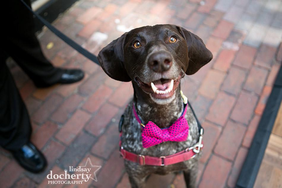Philadelphia wedding photographer at Morris House Hotel German Shorthair Pointer dog with polka dot bowtie